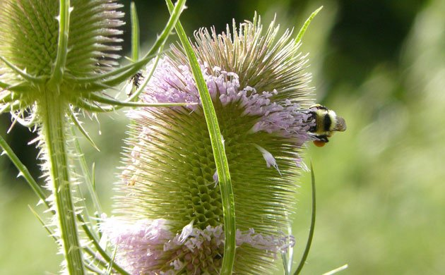 bee on a thistle in bloom - thistles have evolved an effective protective mechanism, maybe that is what chronic illness such as rheumatoid arthritis provides as well