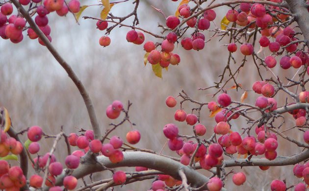 apples-abundant-on-a-tree like the stillness one finds in chronic fatigue