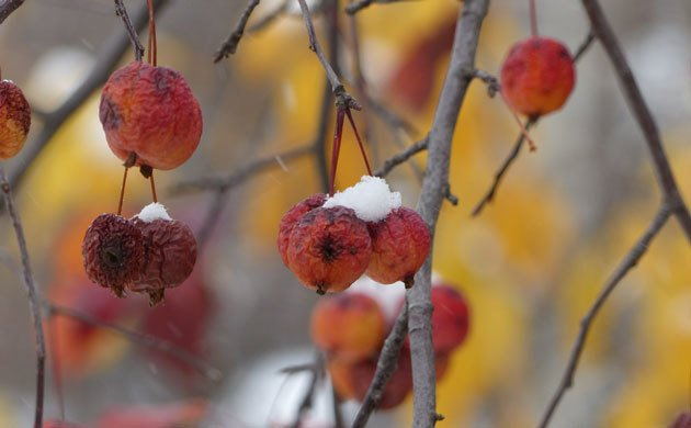 small-apples-with-snow-and-yellow-behind