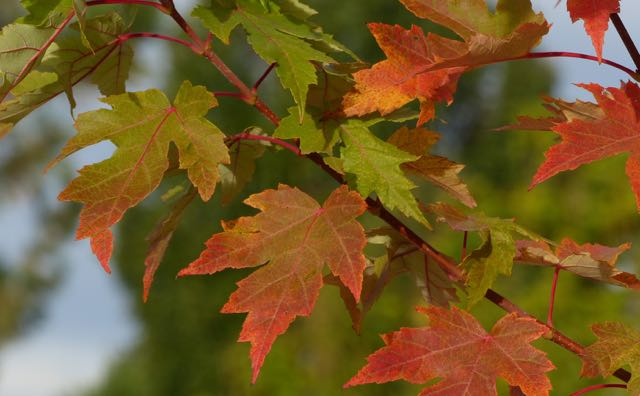 Maple leaves through time reflect how chronic illness, like the fall colors, reflect the effects of events that occurred very early in life, such as during birth and before.