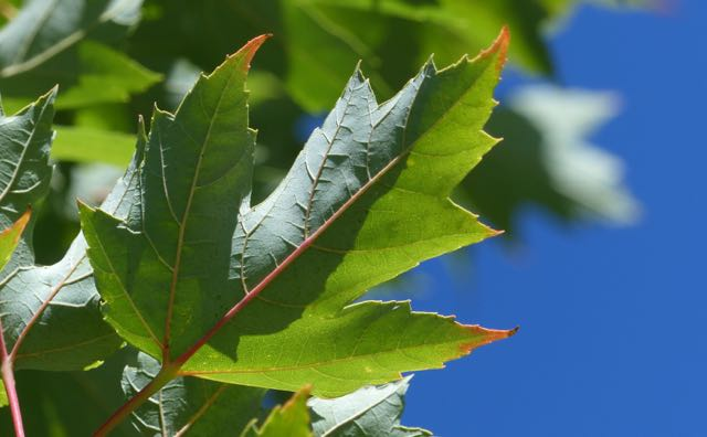 Risk for chronic illness begins long before onset. Image of a maple leaf in the earliest stages of fall and changing color. Just as the very first indications of chronic illness often occur long before diagnosis and onset.